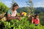Sri_Lanka_Tea_Picking